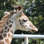 熊本市動植物園 キリン しゅうへい
