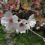 熊本市東区 桜