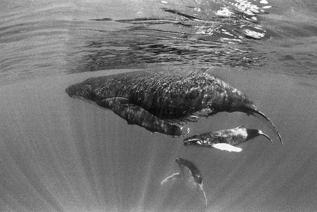 ザトウクジラの母子